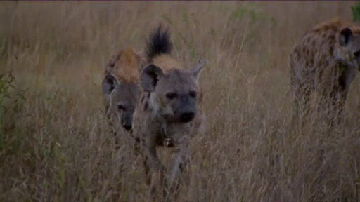 S0E0 Hyenas Fight Leopard for Kill